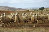 Australian sheep on outback farm land