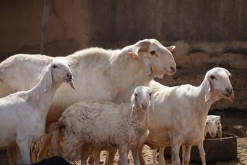 Gruppe Hammel Schaf (Mouton) in Bamako, Mali (Afrika) Africa