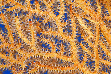 Orange Sea Fan Underwater