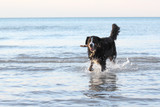 Burmese Mountain Dog Fetching a Stick at the Beach poster