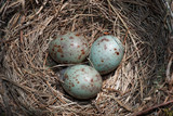 Mistle Thrush's nest with three eggs close-up