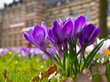 Blooming purple crocus
