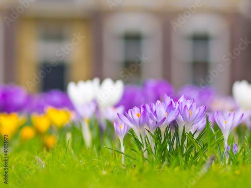 A group of violet crocus