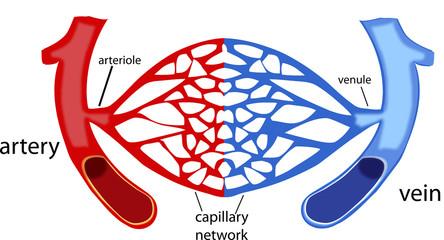 rete capillare