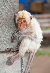 Little  macaca monkey chained, looking sad.