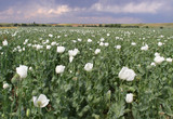 Opium Field with White Blossoms
