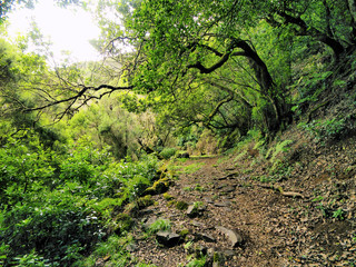 Laurel Forest, Hierro, Canary Islands, Spain