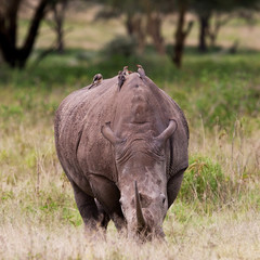 Rhinoceros, Lake Nakuru, Kenya