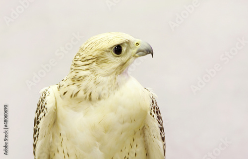 A white falcon with beautiful eyes
