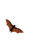 Ceepy Halloween fruit bat