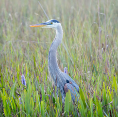 Great Blue Heron in wetlands of Florida
