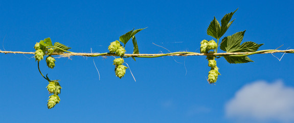 Row of Hops
