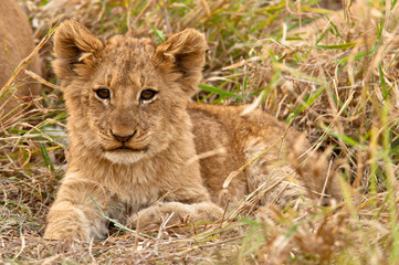 Fluffy Lion Cub