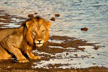 Male lion in Selous Game Reserve