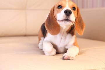 Female Beagle puppy on a white leather sofa, barking