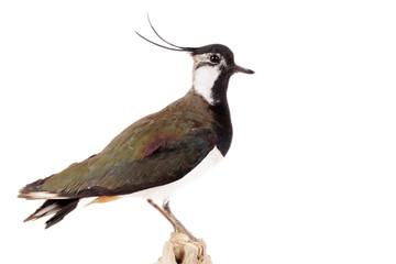 Kiebitz (Vanellus vanellus) freigestellt