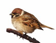 Tree Sparrow isolated on white, Passer montanus