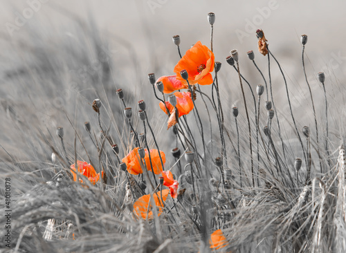 poppies © danimages