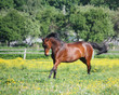Beautiful latvian breed horse running at the the field