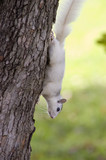 A white squirrel from Brevard, NC on a tree