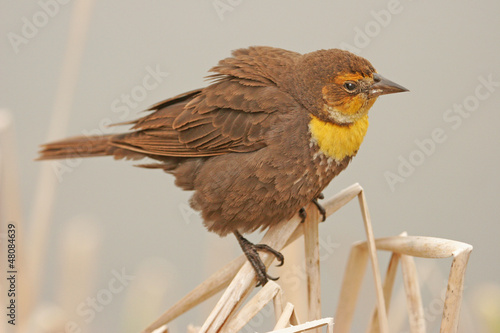 Yellow-headed Blackbird female (Xanthocephalus xanthocephalus)