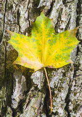 Autumnal maple leaf on trunk of a tree