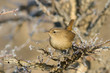 Adult  Wren on Branch / Troglodytes troglodytes