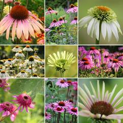 Sonnenhut (Echinacea) Collage im Sommer