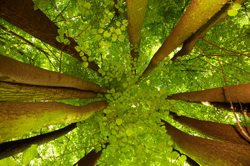 Under greenery - the beech canopy