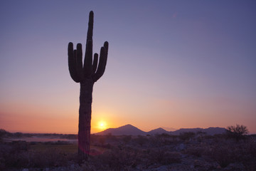 Saguaro Catus at Sunset