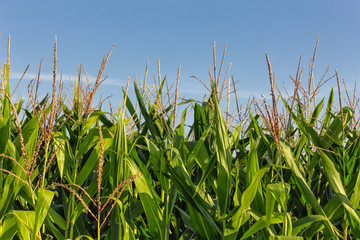 Tall Row of Field Corn