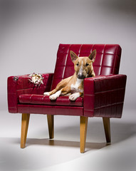 Female miniature bull terrier laying on a destroyed armchair.
