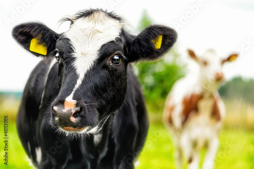 Fotobehang Koe Young curious calfs on background of green grass