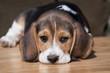 Cute beagle puppy lying