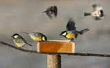 titmouse birds eating seed from bird feeder