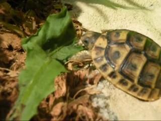 Żółw jedzący