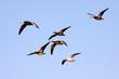 Blue Snow Geese