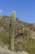 Arizonas Young Saguaro