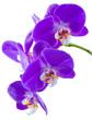 Fototapeten,orchidee,blume,orchidee,blume