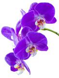 Fototapety tige d'orchidée