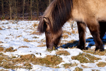 pony graze grass on winter pasture