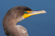 Double Crested Cormorant Portrait