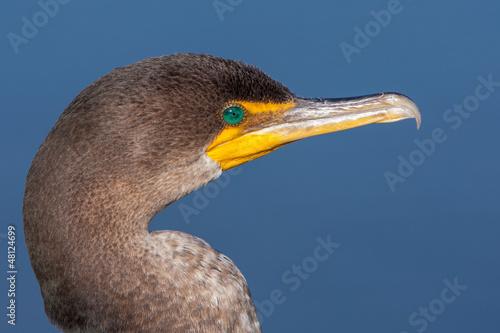 Double Crested Cormorant Portrait