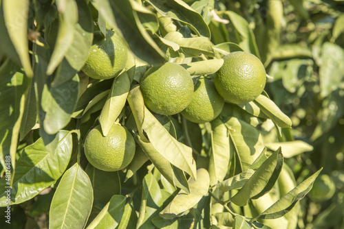 Green lemon tree