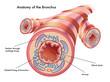 bronchi 2