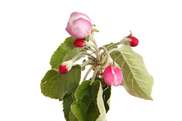 Branch with flowers and blossoms of apple, isolated on white