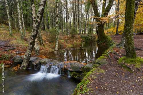 Autumn woods with yellow maple trees and creek with rocks and fo