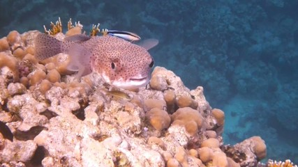 Puffer in the Red Sea