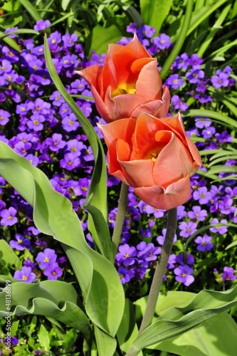 Tulpenblüten im Garten