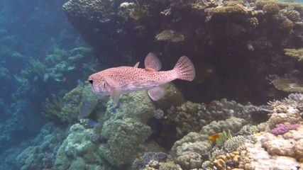 Puffer in the Red Sea -3